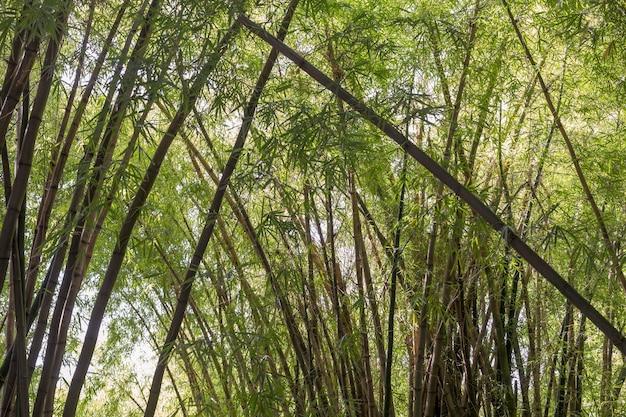 Tropikalny zielony las bambusowy