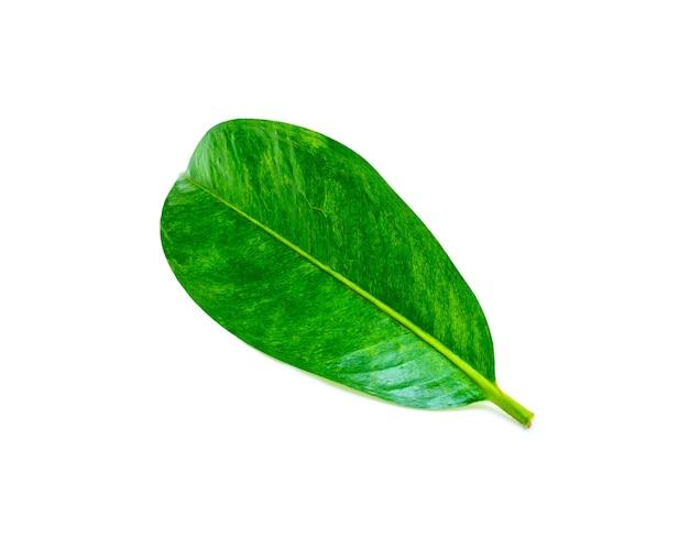 Tropikalny zielony liść na białym tle. liść z naturalnego lasu tropikalnego