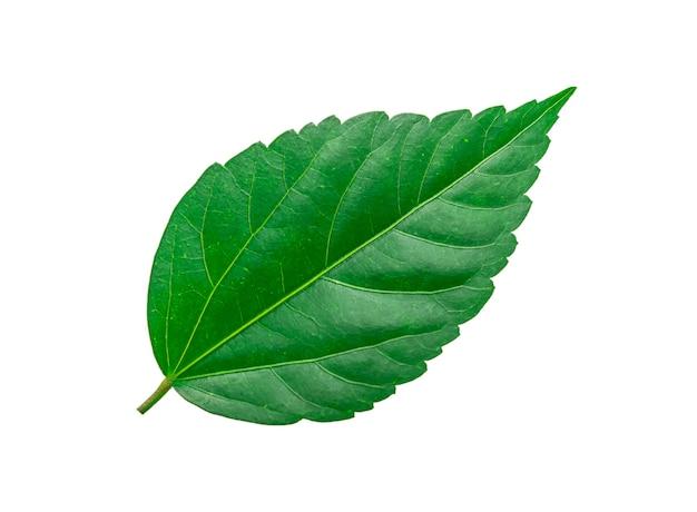Tropikalny zielony liść na białym tle