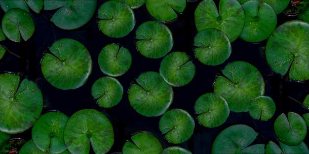 Tropikalny zielony lotosowy liścia tło