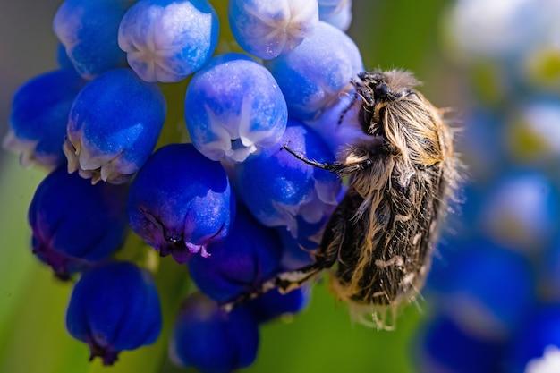 Tropinota hirta zjada kwiaty. koncepcja zwalczania szkodników owadobójczych.