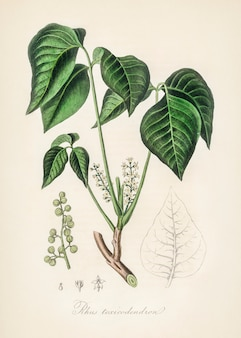 Trujący bluszcz (rhus toxicodendron) ilustracja z botaniki medycznej (1836)