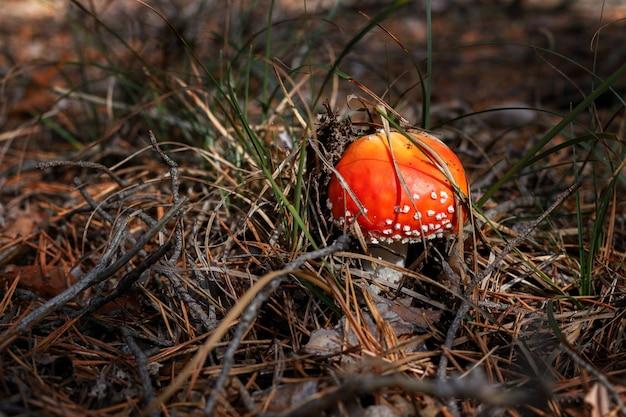 Trujący muchomor rośnie w lesie z bliska