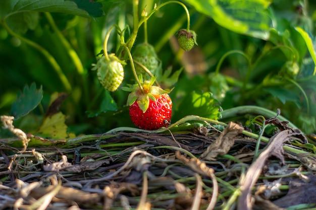 Truskawka. krzewy stawberry. truskawki w ogrodzie. dojrzałe jagody i truskawki na liściach