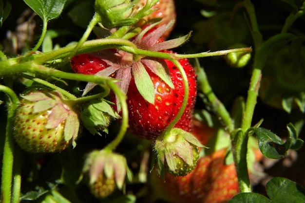 Truskawka rośnie w ogrodzie naturalną żywnością ekologiczną