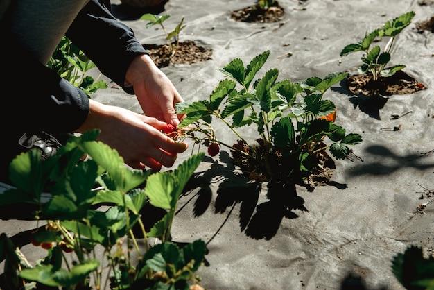 Truskawka segregująca w ogródzie outdoors podczas zmierzch kobiety han