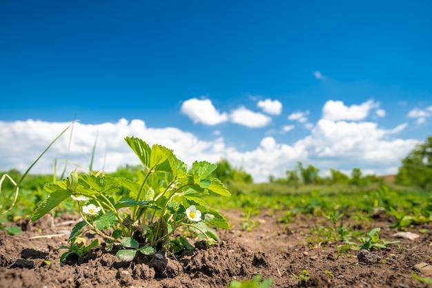 Truskawki dojrzewa w słońcu w polu na gospodarstwie ekologicznym
