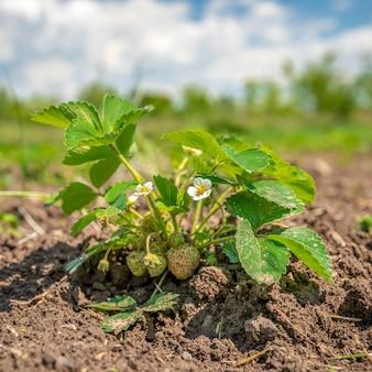 Truskawki dojrzewające na słońcu na polu w gospodarstwie ekologicznym, zdrowe owoce bez chemikaliów