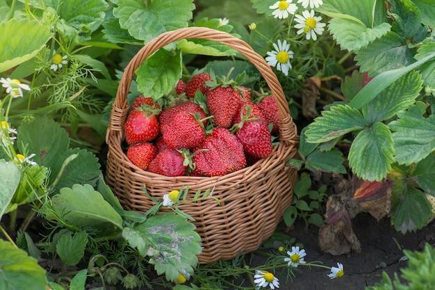 Truskawki zdrowe jagody w słoneczny dzień. świeże jagody zdrowej żywności w koszu. dojrzałe lato czerwona truskawka ogrodowa