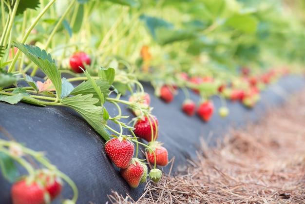 Truskawkowe rośliny r na gospodarstwie rolnym