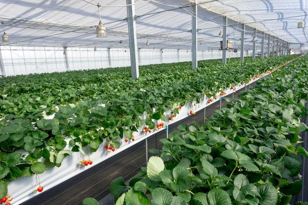 Truskawkowy obwieszenia gospodarstwo rolne w yuzawa, japonia.