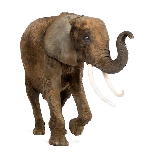 Trwanie afrykański słoń podnosi swój bagażnika, odizolowywającego na bielu