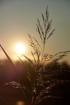 Trzcina o zachodzie słońca