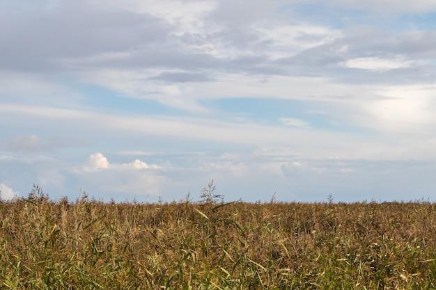 Trzcina pospolita we wrześniu, pochmurne niebo powyżej. poziomy widok trzciny