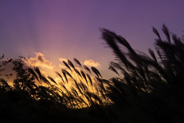 Trzcina w polu podczas zachodu słońca na niebie