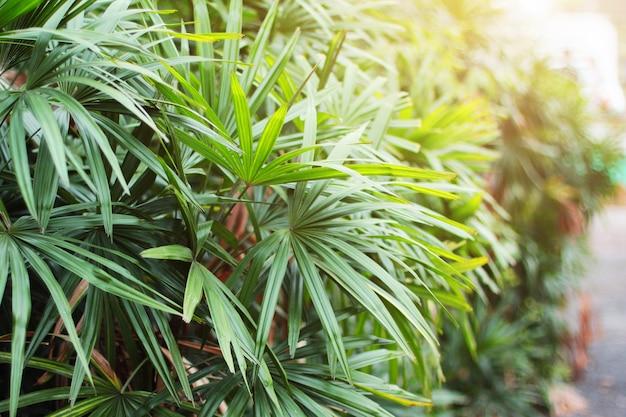 Trzcinowi rhapis lub nikły damy drzewko palmowe w tropikalnym ogródzie w thailand