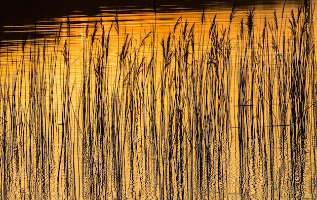 Trzciny i trawa odbijające się w wodzie podczas zachodu słońca