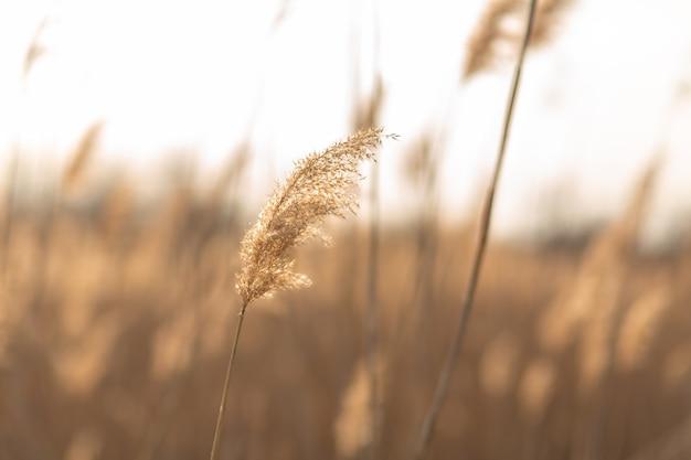 Trzciny łodygi wiejący wiatr na złote światło słońca. promienie słoneczne przebijające się przez suche trawy trzcinowe przy słonecznej pogodzie
