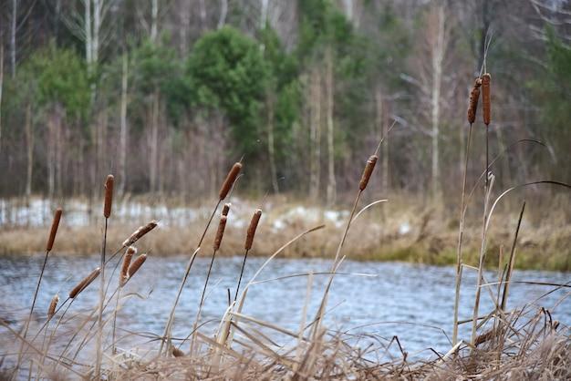 Trzciny na brzegu zimowego leśnego jeziora