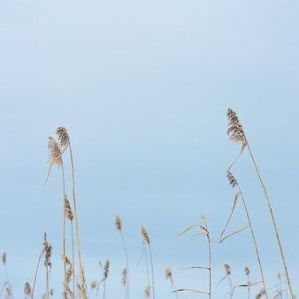 Trzciny suchej trawy na jeziorze, przeciw błękitne niebo, naturalne tło. środowisko, spokój z dala od miejskiego zgiełku