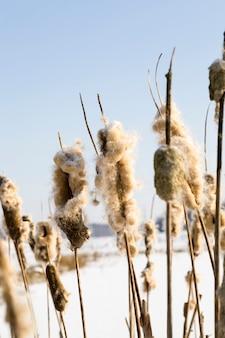 Trzciny w sezonie zimowym