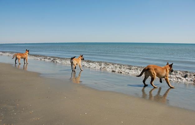 Trzech młodych malinois na plaży
