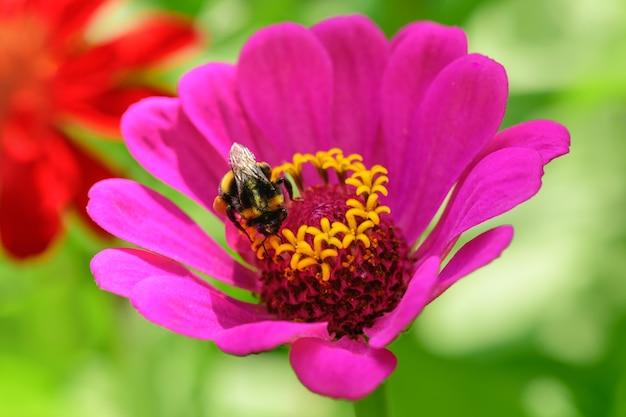 Trzmiel. jeden duży trzmiel siedzi na różowym kwiatku w słoneczny, jasny dzień.