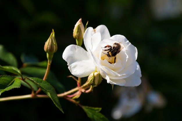 Trzmiel leci na biały kwitnący kwiat róży