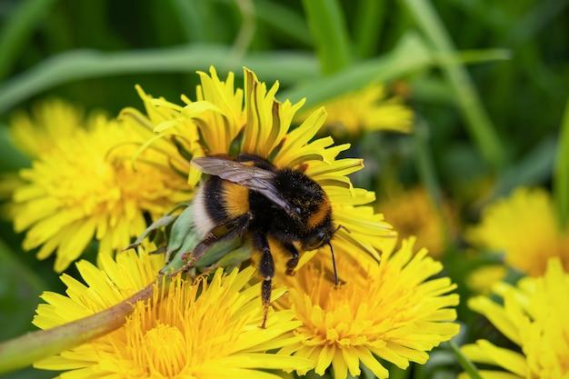 Trzmiel na kwiaty mniszka lekarskiego na tle zielonej trawy, zbliżenie.