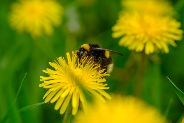 Trzmiel siedzi na żółtym kwiecie mniszka lekarskiego. zdjęcia makro owadów i kwiatów