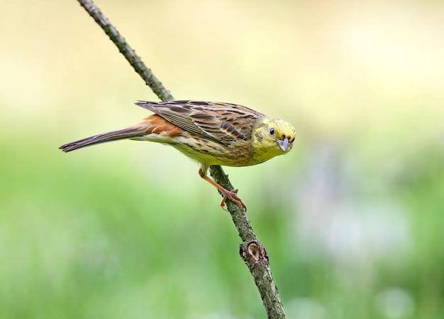 Trznadel (emberiza citrinella) z bliska strzał na różne gałęzie i kłody z bliskiej odległości.