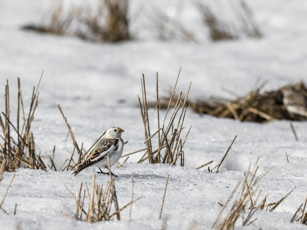 Trznadel śnieżny, plectrophenax nivalis, siedzący w śniegu na polu wiosną