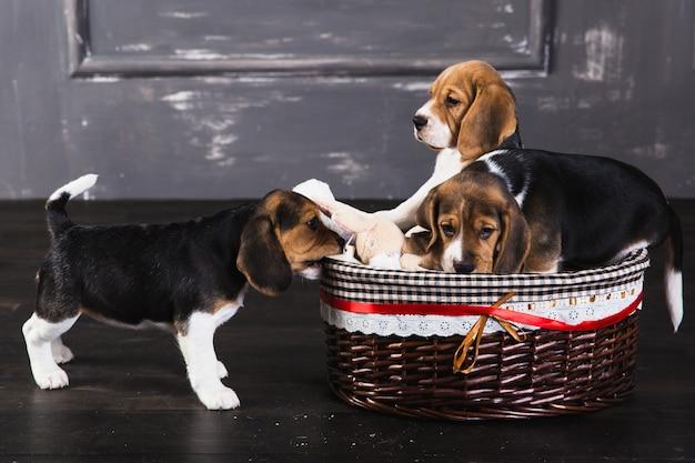 Trzy beagle szczeniak siedzą w studiu