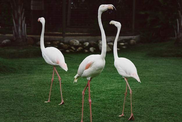 Trzy białe flamingi