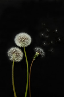 Trzy białe kwitnące mlecze z zielonymi łodygami na czarnym tle