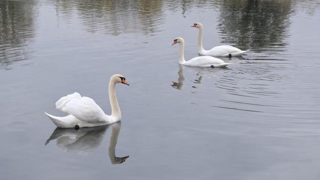 Trzy białe łabędzie pływają w małym stawie jesienią