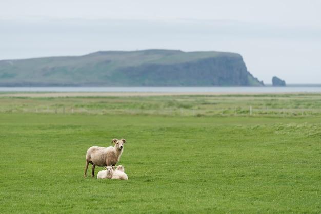Trzy białe owce na zielonym polu w islandii
