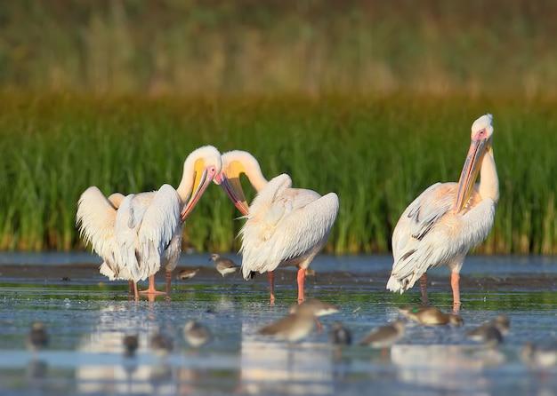 Trzy białe pelikany stoją w wodzie i czyszczą swoje pióra.