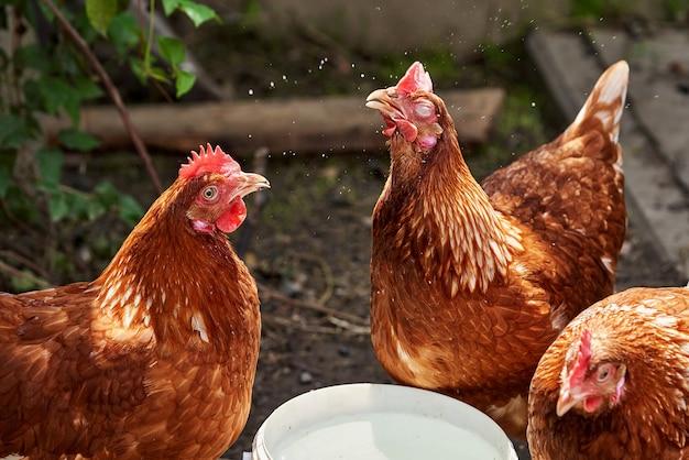Trzy brązowe kurczaki w pobliżu miski z wodą