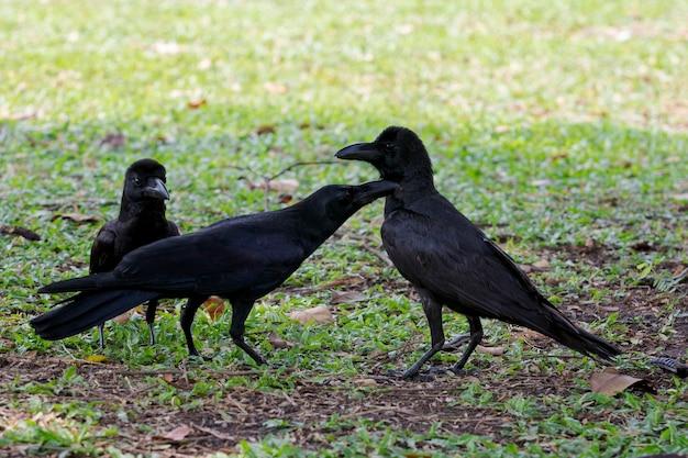 Trzy czarne pióro wrona ptak na ziemi