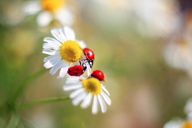Trzy czerwone biedronki siedzą na rumianku. letnia martwa natura dla pocztówek