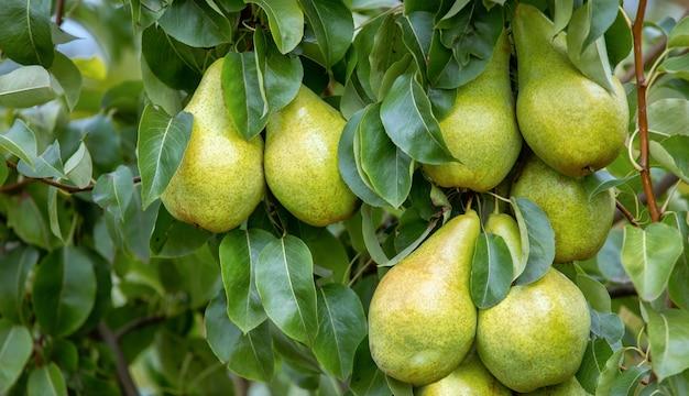 Trzy dojrzałe żółte gruszki soczyste na drzewie.