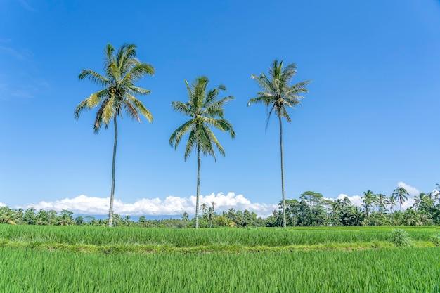 Trzy duże palmy kokosowe na zielonych tarasach ryżowych na tle błękitnego nieba w słoneczny dzień w pobliżu wioski ubud na wyspie bali, indonezja