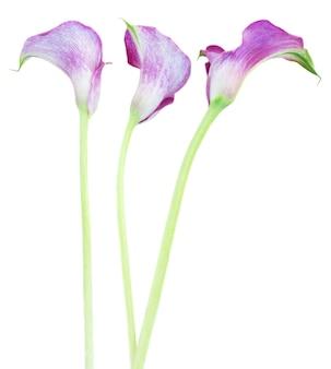 Trzy fioletowe kwiaty calla lilly na białym tle