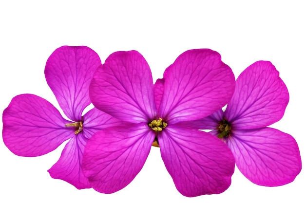 Trzy fioletowe kwiaty. zbliżenie na białym tle. na białym tle.