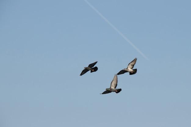 Trzy gołąb w locie