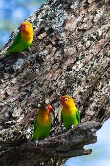 Trzy gołąbki w pobliżu gniazda. tanzania, afryka