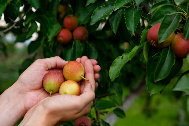 Trzy gruszki w dłoniach na gruszy i owocach gruszy