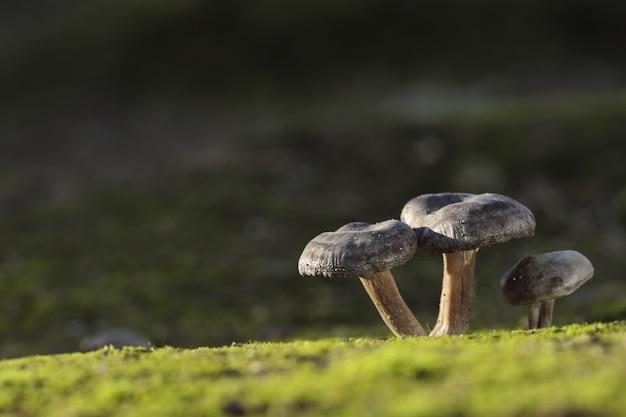 Trzy grzyby lyophyllum littorina