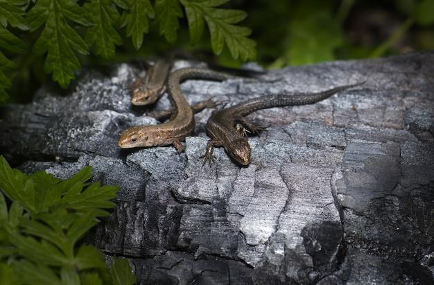 Trzy jaszczurki na brązowym drewnie